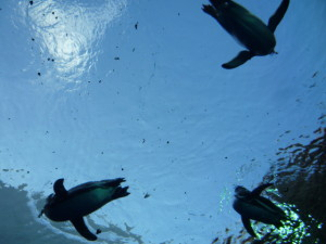 Penguins swimming on a solid glass